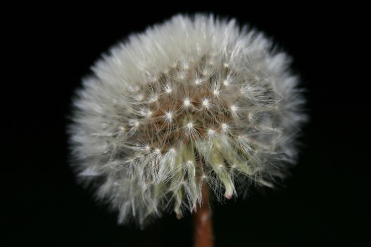 Dandelion by maurizio laguzzi, via 500px