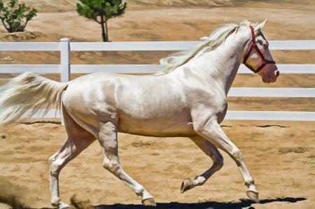 Tennessee Walking Horse. Este caballo es un cruce del Morgan, con el Saddle red y el pura sangre. Lo qué hace a este caballo diferente es su incapacidad de trote.