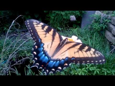 Tiger Swallowtail Butterfly Feasting on Zinnia in North Carolina - YouTube