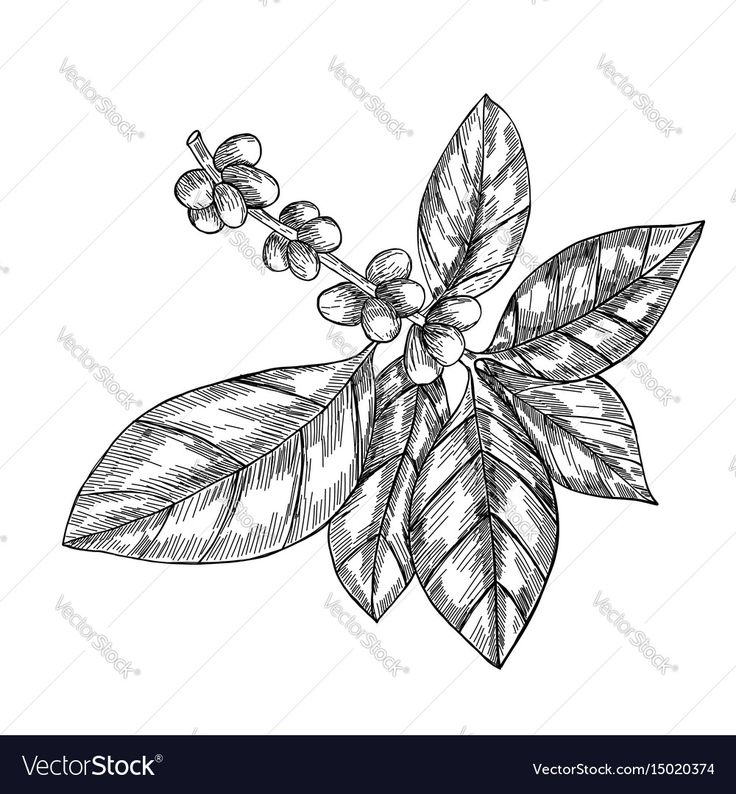 Coffee branch with leaf, berry, coffee bean, fruit, seed. Natural organic caffeine. Hand drawn vector illustration. Illustration on white background for shop. Green coffee. Download a Free Preview or High Quality Adobe Illustrator Ai, EPS, PDF and High Resolution JPEG versions.