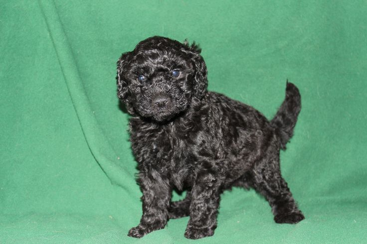 Day 40 f1b mini goldendoodle coal is one of our