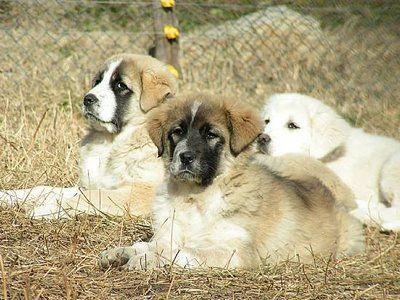 greek shepherd pupies