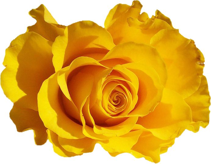 Картинки желтых роз на прозрачном фоне