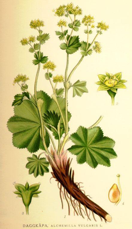 Kontryhel obecný(Alchemilla vulgaris )