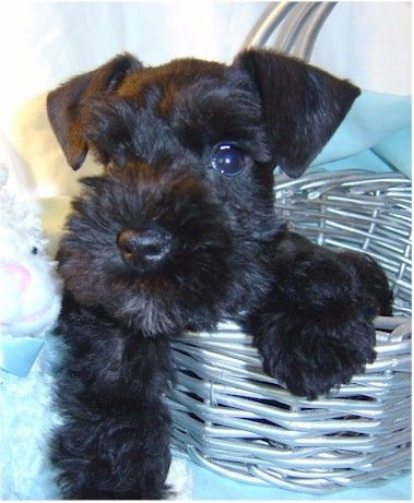 "Adorable black mini schnauzer puppy in a basket so cute.....she looks like ""Schatzie""....my friend's black mini schnauzer"