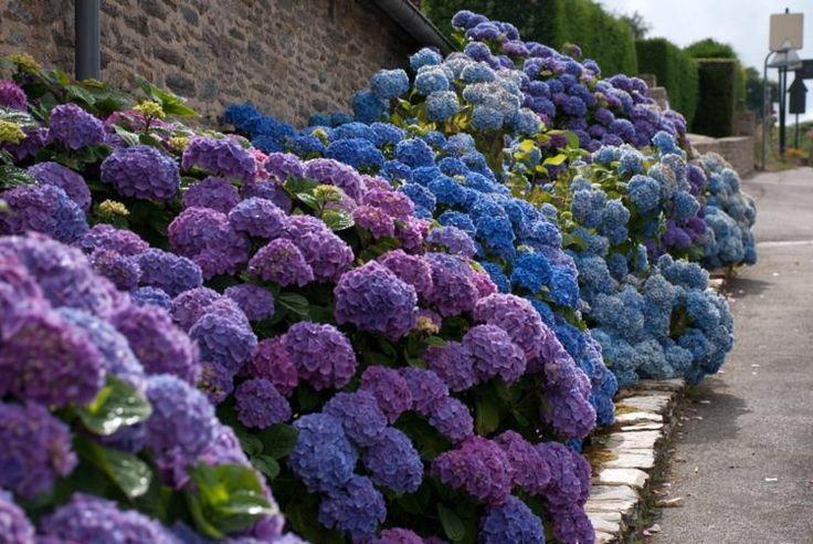 Die richtige Pflege der Hortensien garantiert einen üppigen Blütenstand