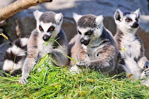 Three lemurs eating - http://dailyfunnypets.com/pictures/dogs-pics/three-lemurs-eating/ - Three lemurs eating  Image by Tambako the Jaguar Three cute lemurs eating side-by-side in the Kinderzoo Knie, Rapperswil, Switzerland - eating, lemurs, Three