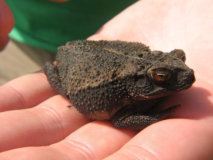 Coastal Plain Toad or Gulf Coast Toad (Bufo valliceps = Bufo nubifer)