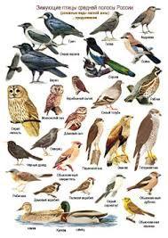Картинки по запросу птицы россии