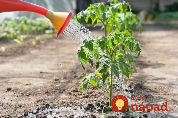 Toto by mal vedieť každý, kto pestuje paradajky: 11 tajomstiev, ako dopestovať bohatú úrodu šťavnatých a chutných plodov!