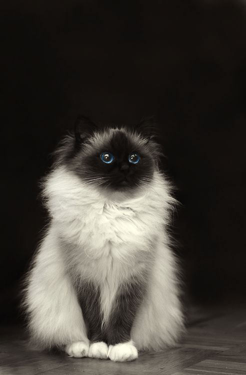 Beautiful cat, looks like possibly a Ragdoll, which are awesome.