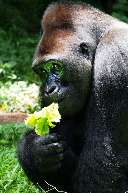 129 best images about Mountain Gorillas on Pinterest ...