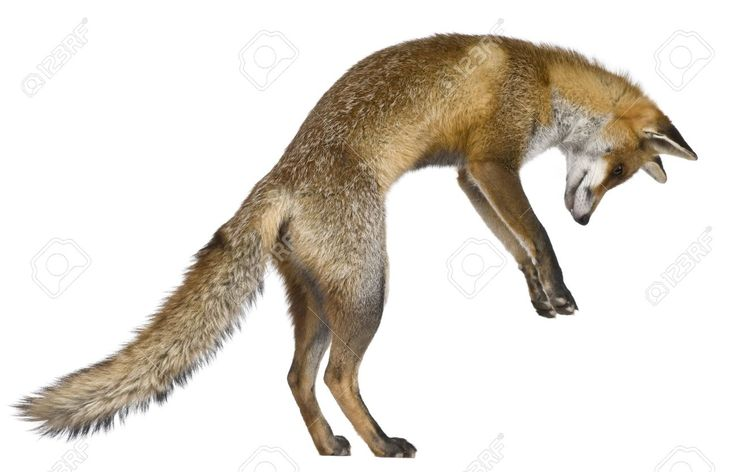 Red Fox Stock Photos, Pictures, Royalty Free Red Fox Images And ...