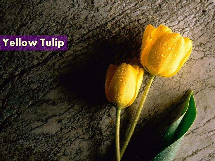 View Best Beautiful Flowers Photos Collection Yellow Tulip In
