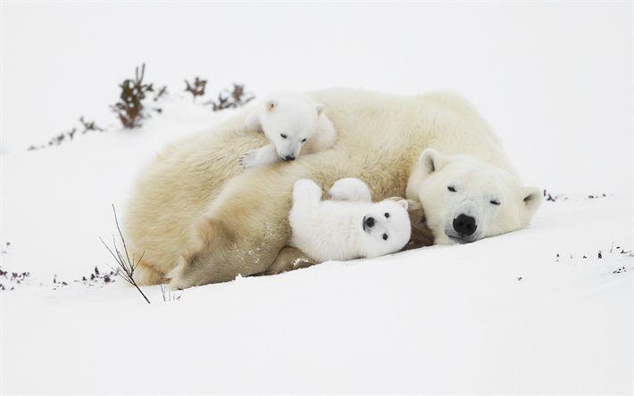 Download imagens Filhotes de urso branco, ursos, ursos polares, predadores, inverno, neve