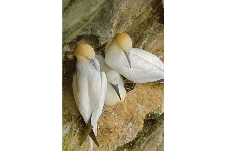 Família de gansos-patolas