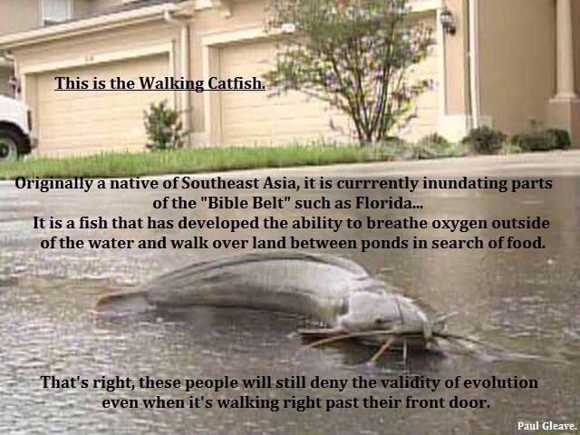 Walking Catfish Habitat - photo#2