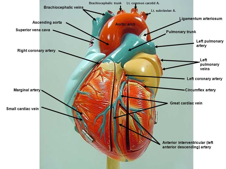 Cranial artery anatomy