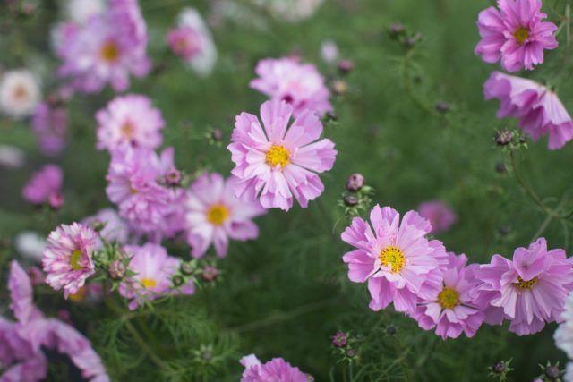 Crazy For Cosmos Floret Flower Farm Tradgard