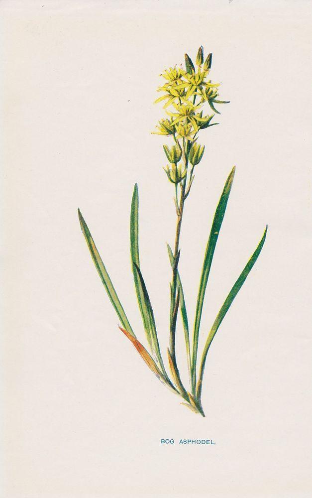 1897 antique Bog Asphodel flower lithograph print by Hulme.