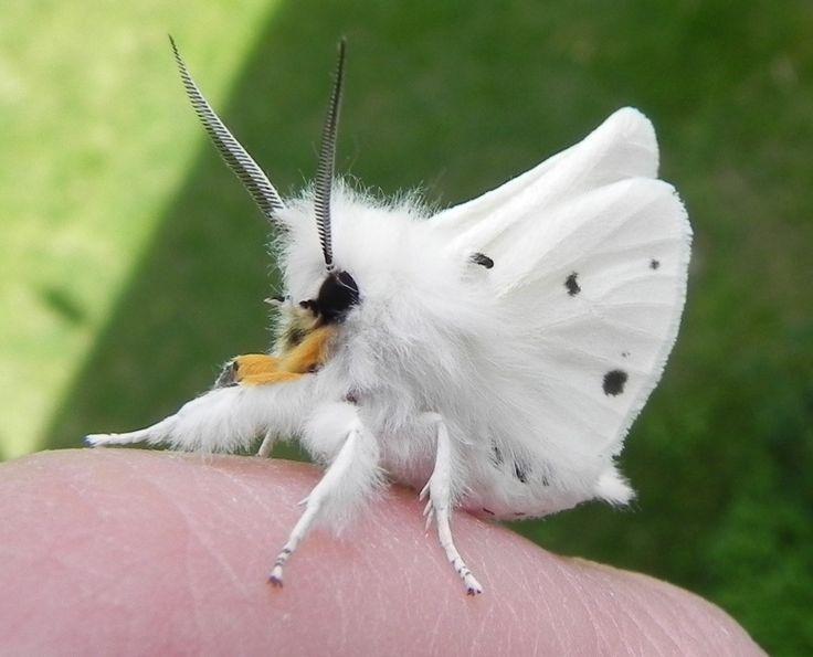 White Venezuelan Poodle Moth Weird Animals