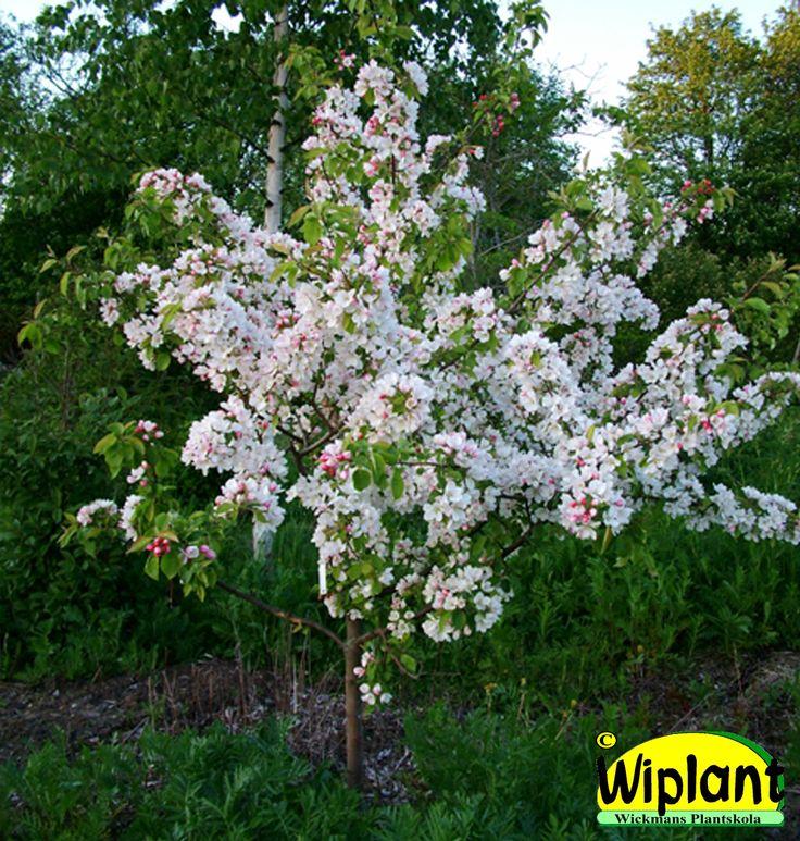 Malus, olika vita sorter. Prydnadsäppel. Vita blommor i maj. Höjd: 3-5 m. Se de olika sorterna på anslagstavlan med Prydnadsäppelträd.