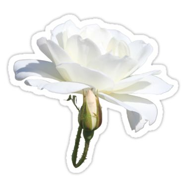 White Rose Sticker by StickerNuts