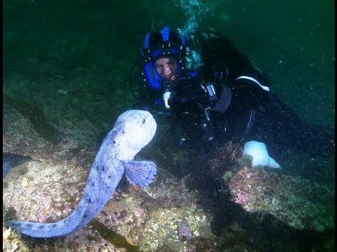 Wolf Eel - Steve Backshall goes underwater meeting and feeding a fish that doesn't often hit or indeed bite the small screen - a Wolf Eel. Amazing HD clip from Series 2 of Deadly 60.