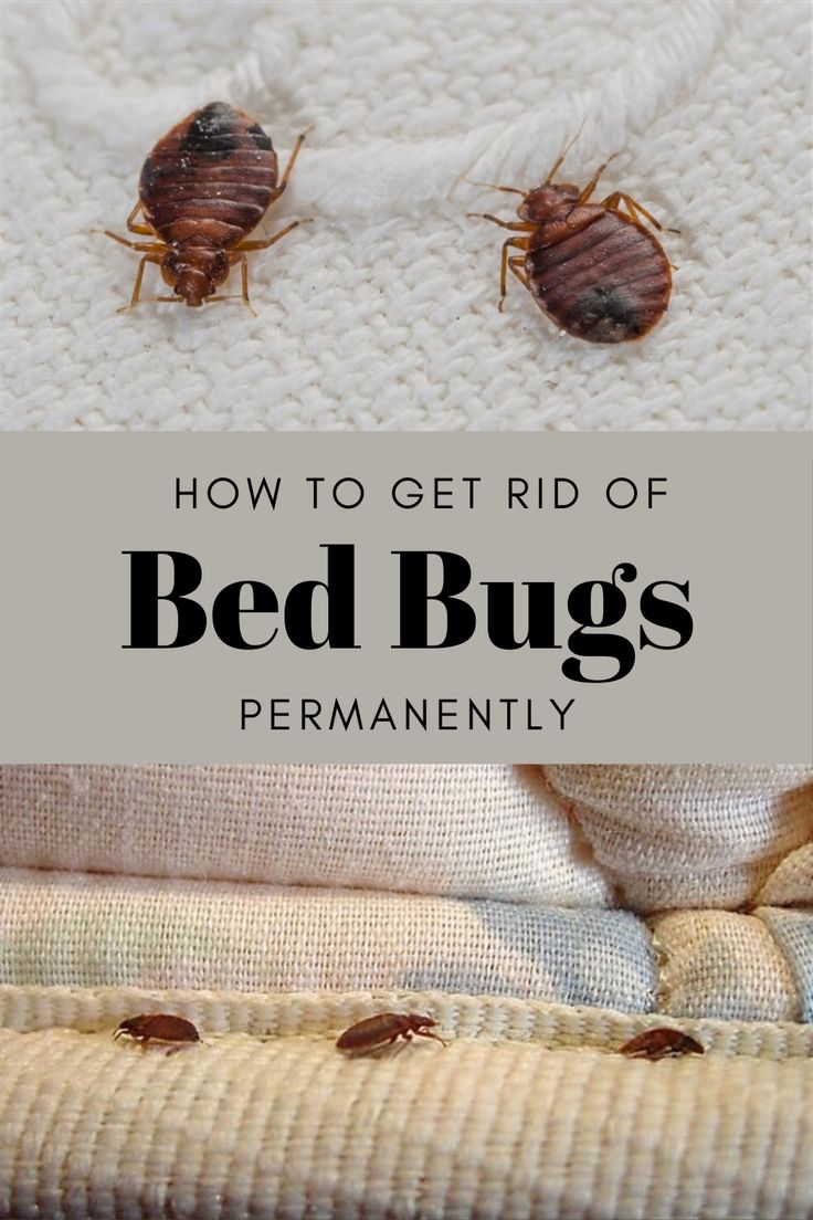 How to get rid of bed bugs permanently rid of bed bugs