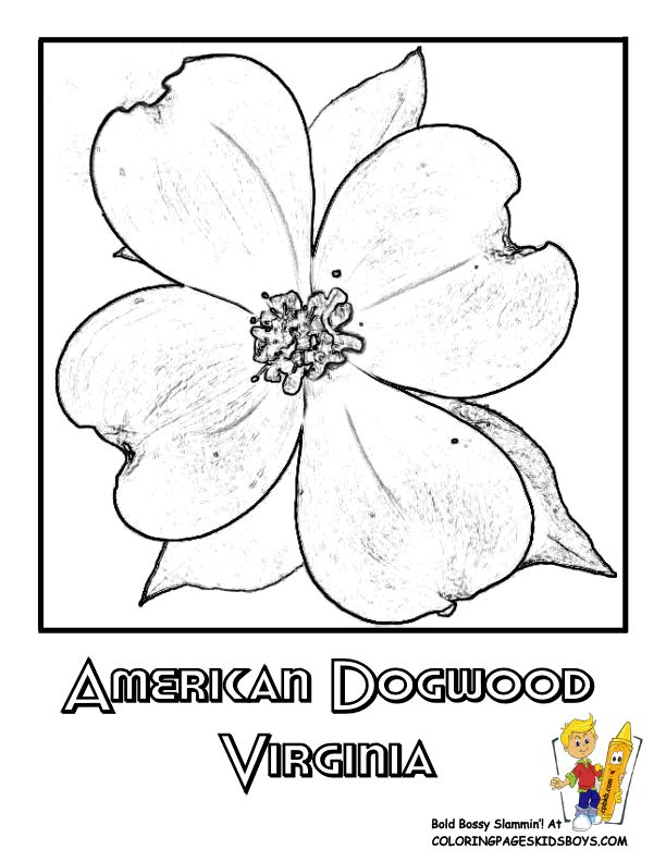 virginia state flower coloring page american dogwood