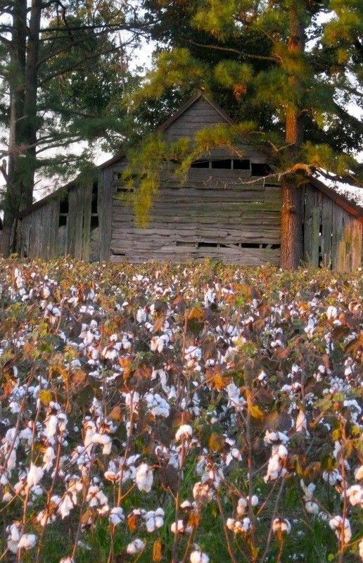 Pretty Old Barn Sitting Along Side A Cotton Field