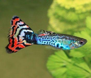Vilken fisk passar oss bäst? - Allmänt - Akvariefisk iFokus