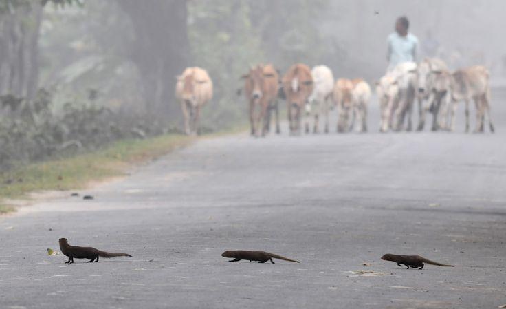 Tres mangostas indias cruzan la calle en Pobitora, in India (BIJU BORO/AFP/Getty Images)