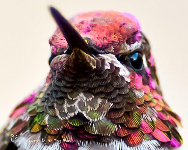 Best Hummingbirds Images On Pinterest Painting Beautiful - Photographer captures amazing close up photos of hummingbirds iridescent feathers