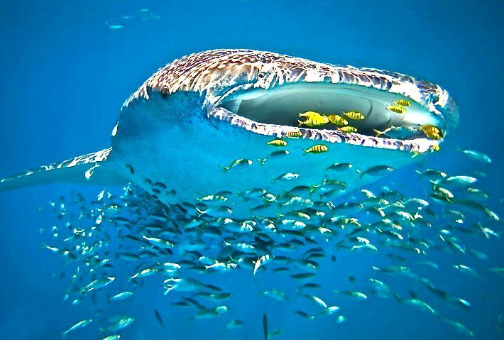 Swim with whale sharks, Ningaloo Reef, Western Australia