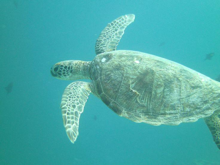 Schildpad, in het Bunaken National Park. Rondreis - Vakantie - Duiksafari - Duiken - Scubadive Holiday - Indonesië - Noord-Sulawesi - Bunaken National Park - Schildpad - Original Asia