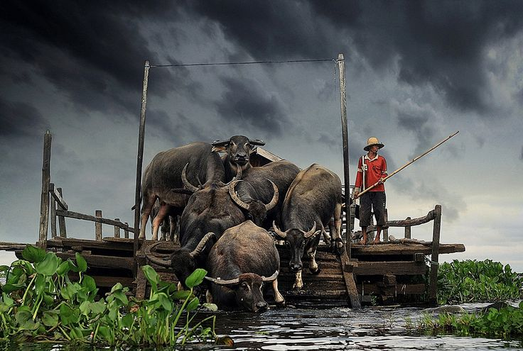 Swamp Buffalo,South Borneo, Indonesia
