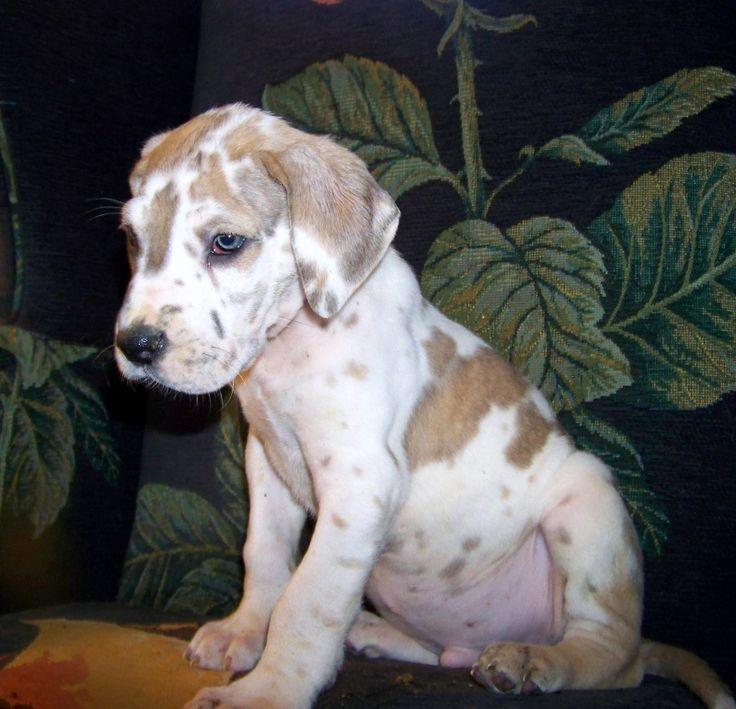 Great Dane Fawnequin 10 best My Dog/...