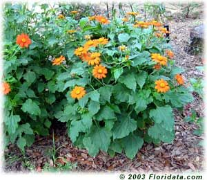 Mexican sunflower is one of the best flowers you can grow for attracting butterflies. In late summer, a stand of tithonia may attract a half dozen or more butterfly and skipper species with one or more individuals on every single blossom!