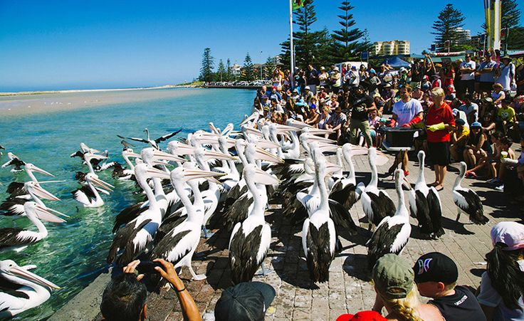 Pelican feeding at The Entrance, Central Coast, NSW, Australia