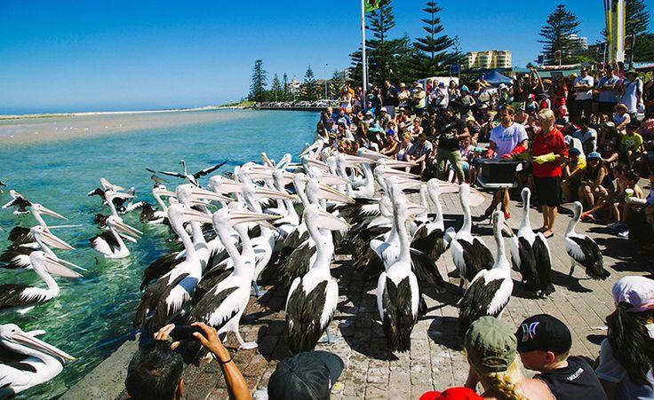 Pelican feeding at The Entrance, Central Coast, NSW, Australia