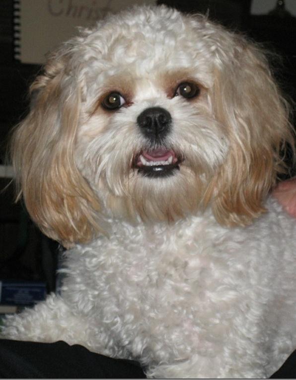 Cavachon Puppies, Hybrids,, Cavachon puppies, Non Shedding ...