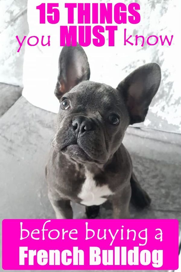 15 Things To Know Before Buying A French Bulldog French Bulldog