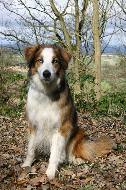 Welsh Sheepdog: Rum