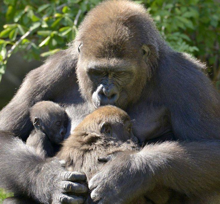 Room for baby and junior cincinnati zoo primates baby