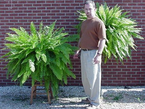 Boston Fern Care. Keep the soil damp. If the soil becomes dry, the fern plants die out. Therefore, make sure you water the plant as and when the soil seems dry. You can even soak the Boston fern plant pot once a month. Another aspect of Boston Fern Care is fertilizing. You need to add a balanced 10-10-10 water-soluble liquid houseplant fertilizer to the plant just a few times in a year. They do not need a lot of fertilizer for their growth.