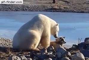 Polar Bear Gently Pets Dog | Gif Finder – Find and Share funny animated gifs