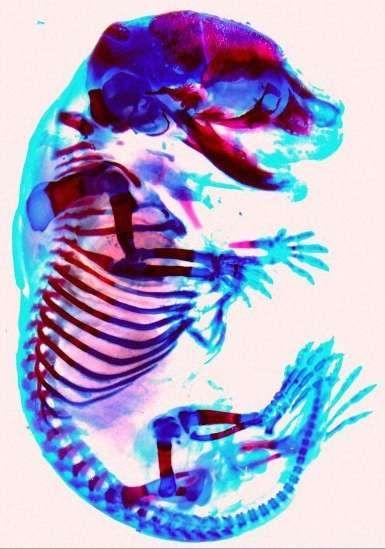 Le bleu alcian permet de colorer les cartilages en bleu. Il peut être utilisé en même temps que l'alizarine rouge qui rend les os rouges, comme dans cet embryon de souris (les cartilages sont en bleu foncé). © wellcome images, Flickr, CC by-nc-nd 2.0