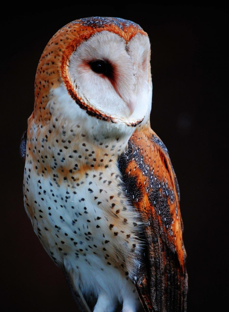 194 best Raven, Hawk, Owl & Eagle images on Pinterest ...
