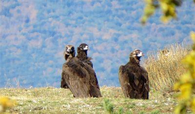 El buitre negro vuelve a la Sierra de la Demanda tras la liberación de 15 ejemplares en Burgos http://www.revcyl.com/web/index.php/medio-ambiente/item/10077-el-buitre-negr